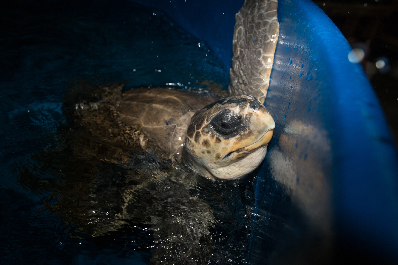 Thunder the turtle in tank prior to transport to SeaWorld for further rehabilitation until release - Credit Oregon Coast Aquarium