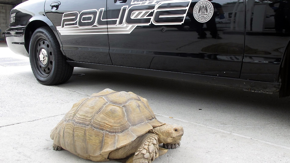 This Aug. 2, 2014 photo provided by the Alhambra Police Department shows a giant 150-pound tortoise who was found wandering the streets of Alhambra, Calif. The tortoise was lifted into a patrol car and taken to the station, where it was later picked up by Los Angeles County Animal Care and Control in Downey. (AP Photo/Alhambra Police Department)