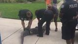 Alligator knocks out trapper during capture