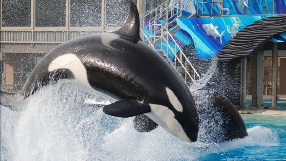 Killer Whale show at SeaWorld (Photo Credit: Tammy Lo / Flickr)