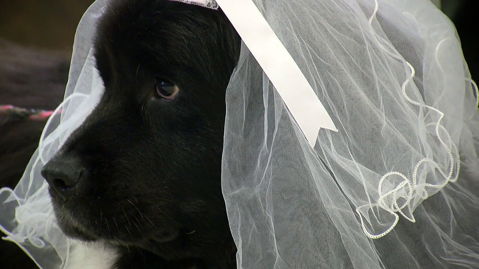 MUSC therapy dogs have Valentine's Day wedding. (WCIV).png