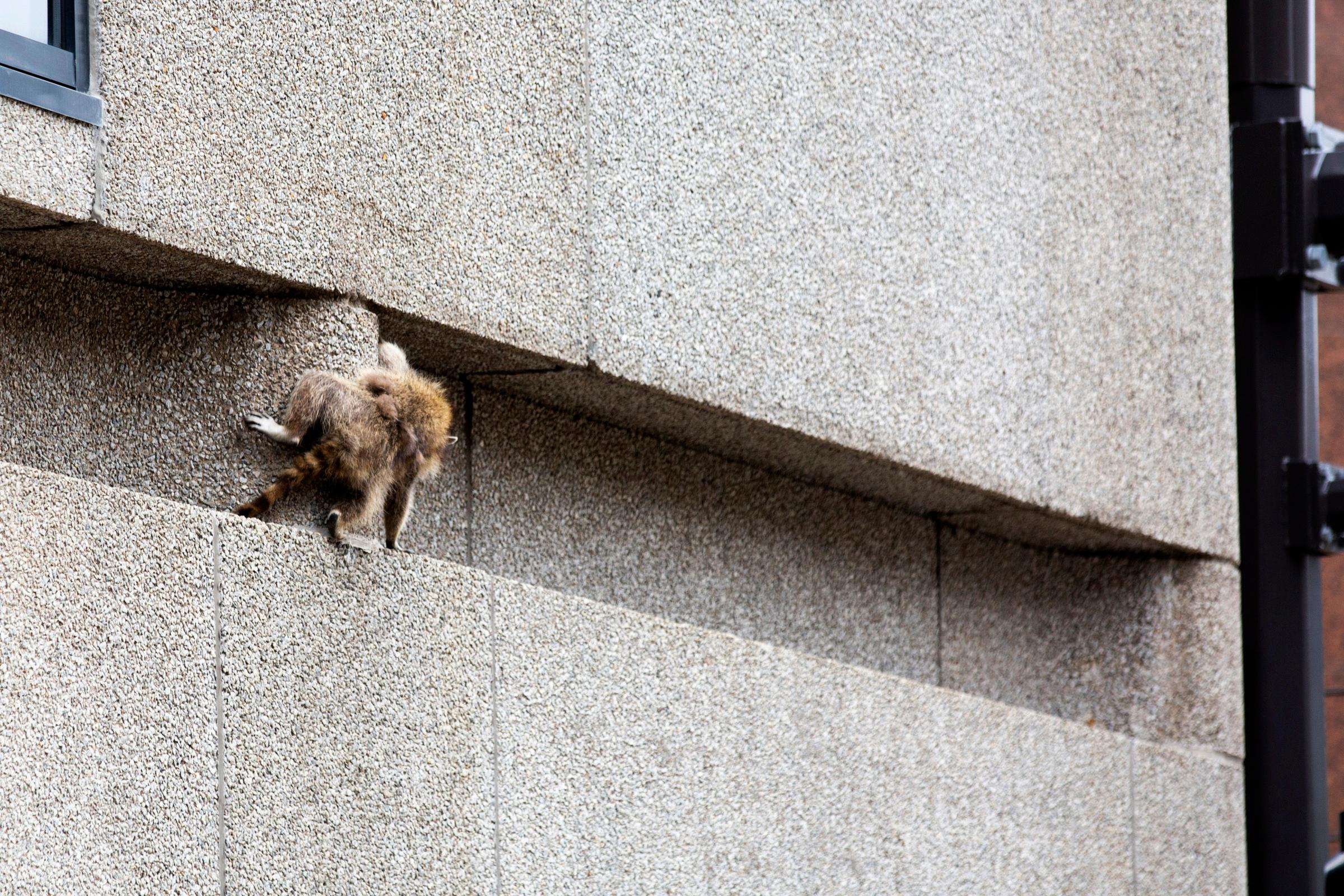 A raccoon scrambles along a ledge on the side of the Town Square building in downtown St. Paul, Minn., on Tuesday, June 12, 2018. (Evan Frost/Minnesota Public Radio via AP)