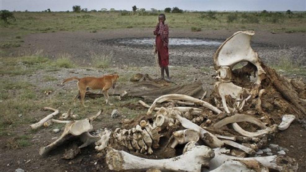 In this Wednesday, Feb. 13, 2013 file photo, a Maasai boy and his dog stand near the skeleton of an elephant killed by poachers outside of Arusha, Tanzania. A new study released Monday Aug. 18, 2014, by lead author George Wittemye of Colorado State University, found that the proportion of illegally killed elephants has climbed to about 65 percent of all African elephant deaths, accounting for around 100,000 elephants killed by poachers between 2010 and 2012. (AP Photo/Jason Straziuso, File)