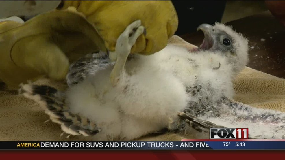 Peregrine falcon chicks banded in Green Bay