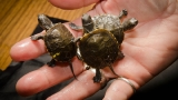 Oregon Zoo raises baby pond turtles until they can fend for themselves in the wild