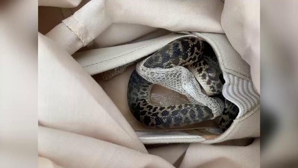 Woman accidentally brings python in luggage from Australia to UK | WPEC