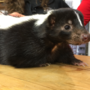 Pennsylvania family rebuilding after skunk spray ruins home