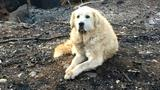 Dog that survived California wildfire guarded home for weeks