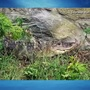 Only on 10: Alligator found in Glocester
